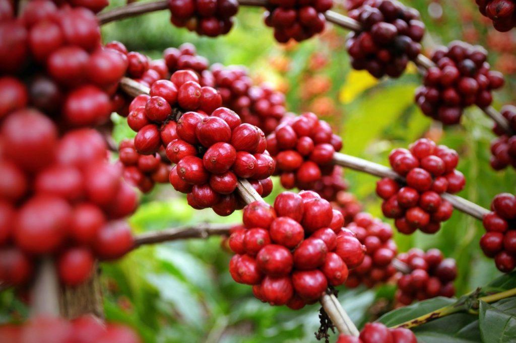 atividades rurais lucrativas cafeicultura