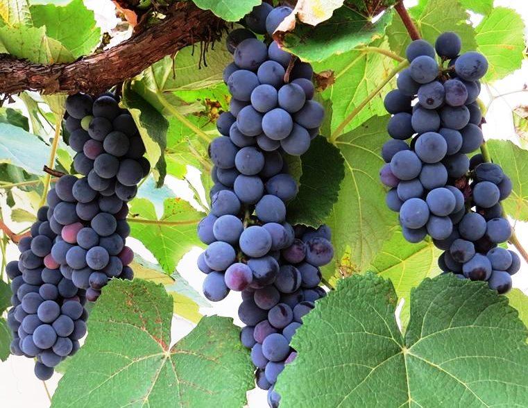 plantar uva